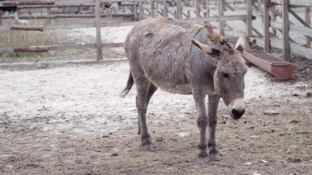 Videos mit schwarzen Eseln
