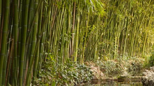 Bamboo forest near pond