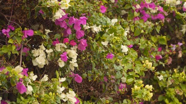 Weiße und violette Blumen auf den Busch — Stockvideo © filin72 ...