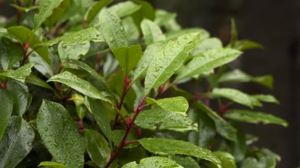 The leaves of laurel bush with raindrops