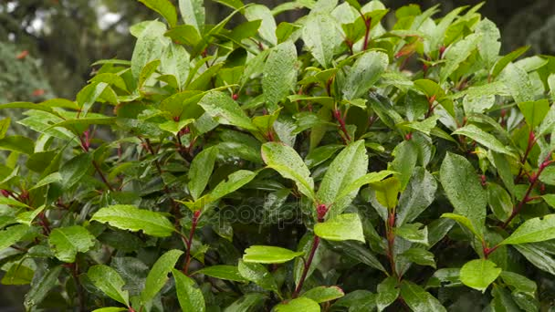 Laurel bush with raindrops