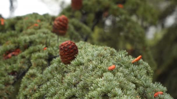 Filiale Nadel-Baum mit Tannenzapfen