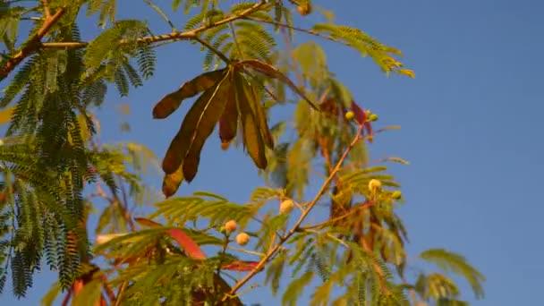 Akácie větev s semena na pozadí modré oblohy