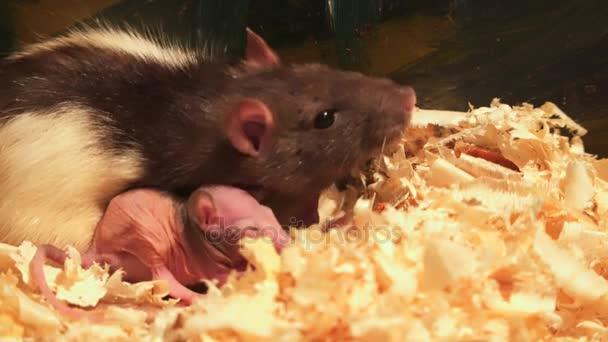Ratte und neugeborenes Baby Ratte