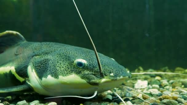 Sumec africký sharptooth. Akvarijní ryby