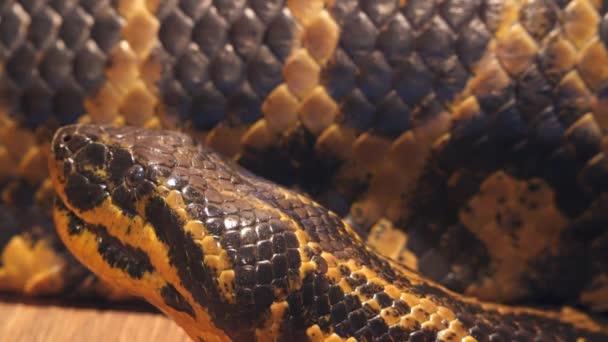 Eunectes notaeus (běžné názvy: Anakonda žlutá, Paraguayský Anakonda