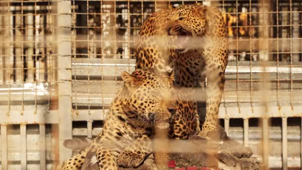 Two leopards in a cage