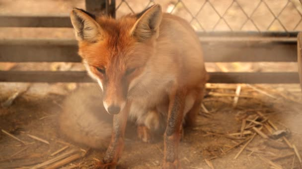 The Fox in a Cage