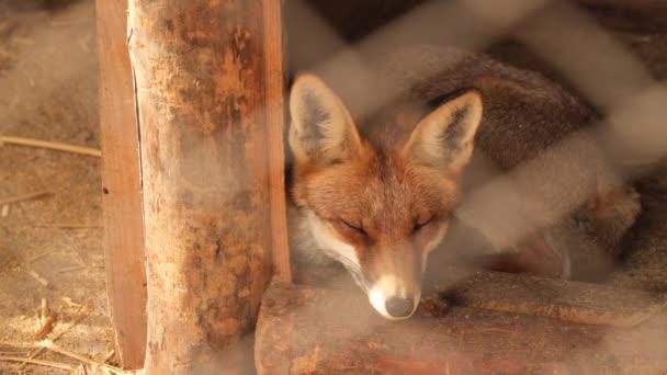 Liška je v kleci