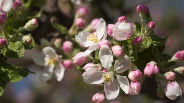 Pink flowers blooming apple trees.