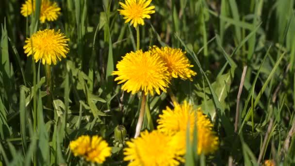 Žluté pampelišky mezi zelené trávy.
