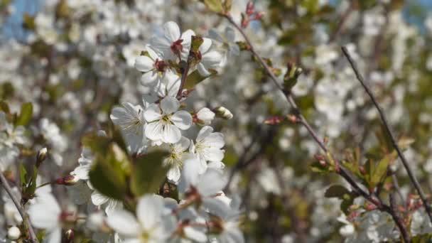 Blooming cherry. Cherry blossom branch