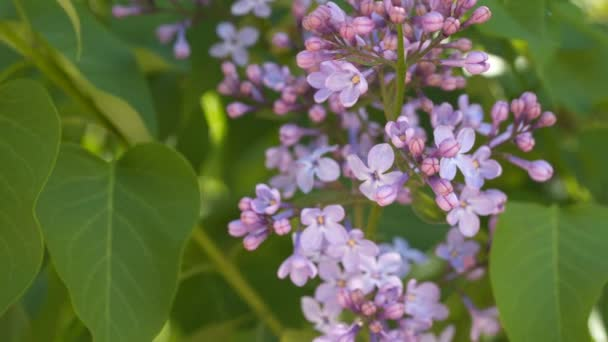Blossoming lilacs among green leaves.