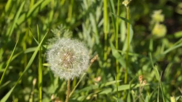 Tavaszi háttér pitypang. Pitypang virág
