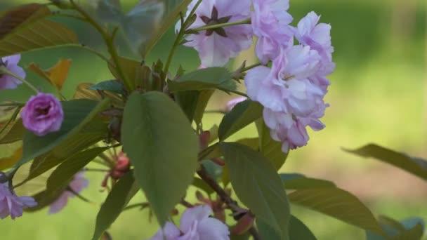 Jarní Třešňové květy. Sakura květ