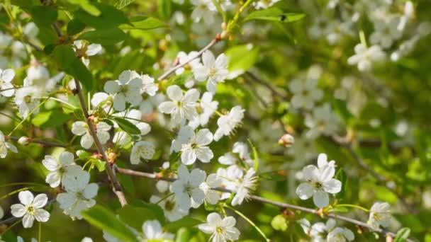 Cseresznyevirág ág. Virágzó cseresznye