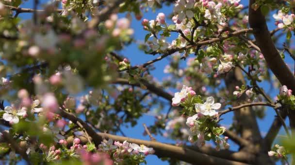 Větev s růžovými květy jabloni