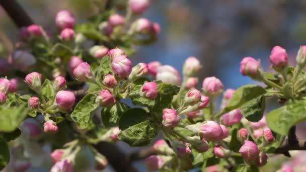 Pink buds of flowering tree.
