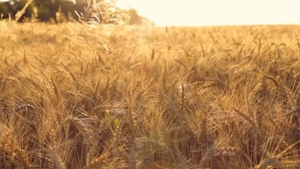 Golden Barley Field At Sunset