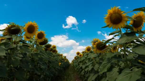 Aisle Of Sunflower And Clouds Time Lapse