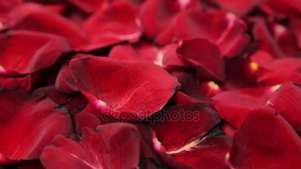 Háttér, a szirmok piros rózsa.
