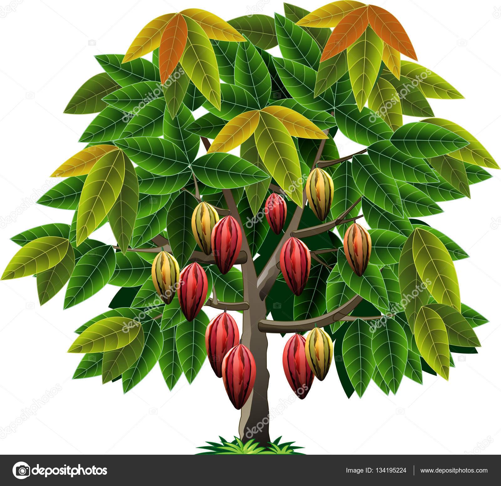 Vector Cocoa Tree Vector Image By C Msjeje Vector Stock 134195224