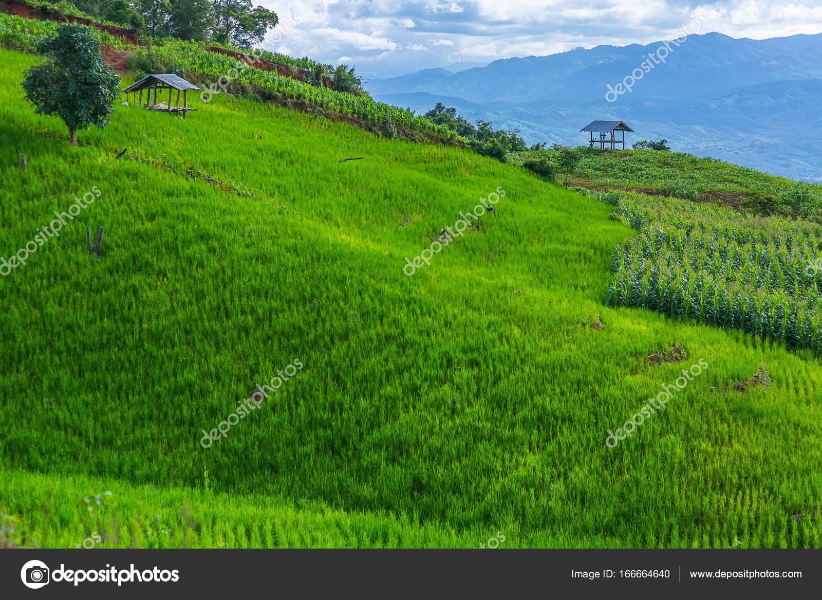 Terrazza di riso in un illuminazione nuvoloso circondato da alberi