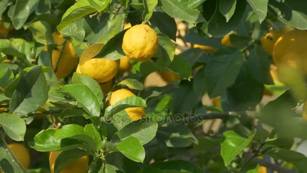 citrony na stromě