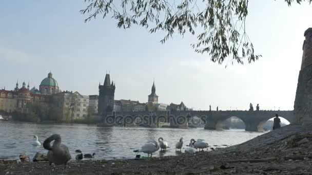 Labutě na březích Vltavy poblíž Karlova mostu v městě Praha, Česká republika