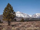 Albero di pino, paesaggio di montagna innevate