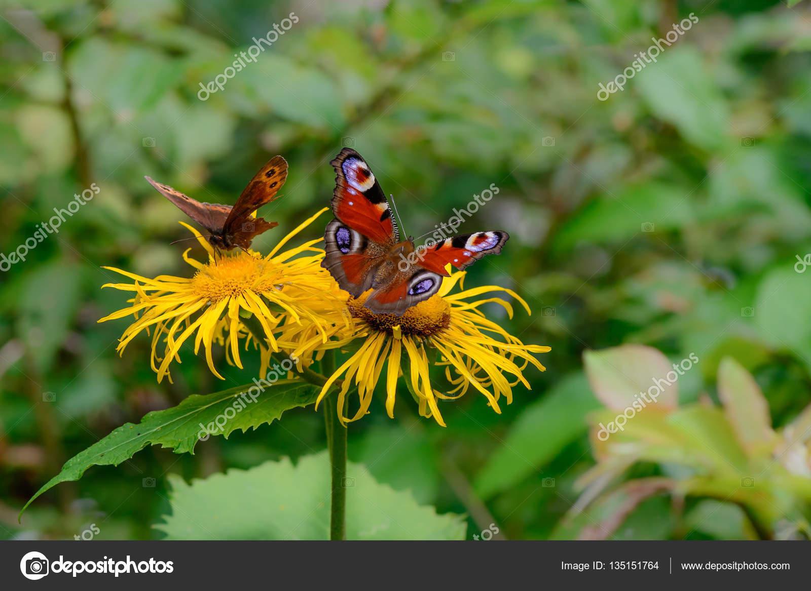 Schmetterlinge Uber Blume Futterung Makro Nahaufnahme Mit Roten