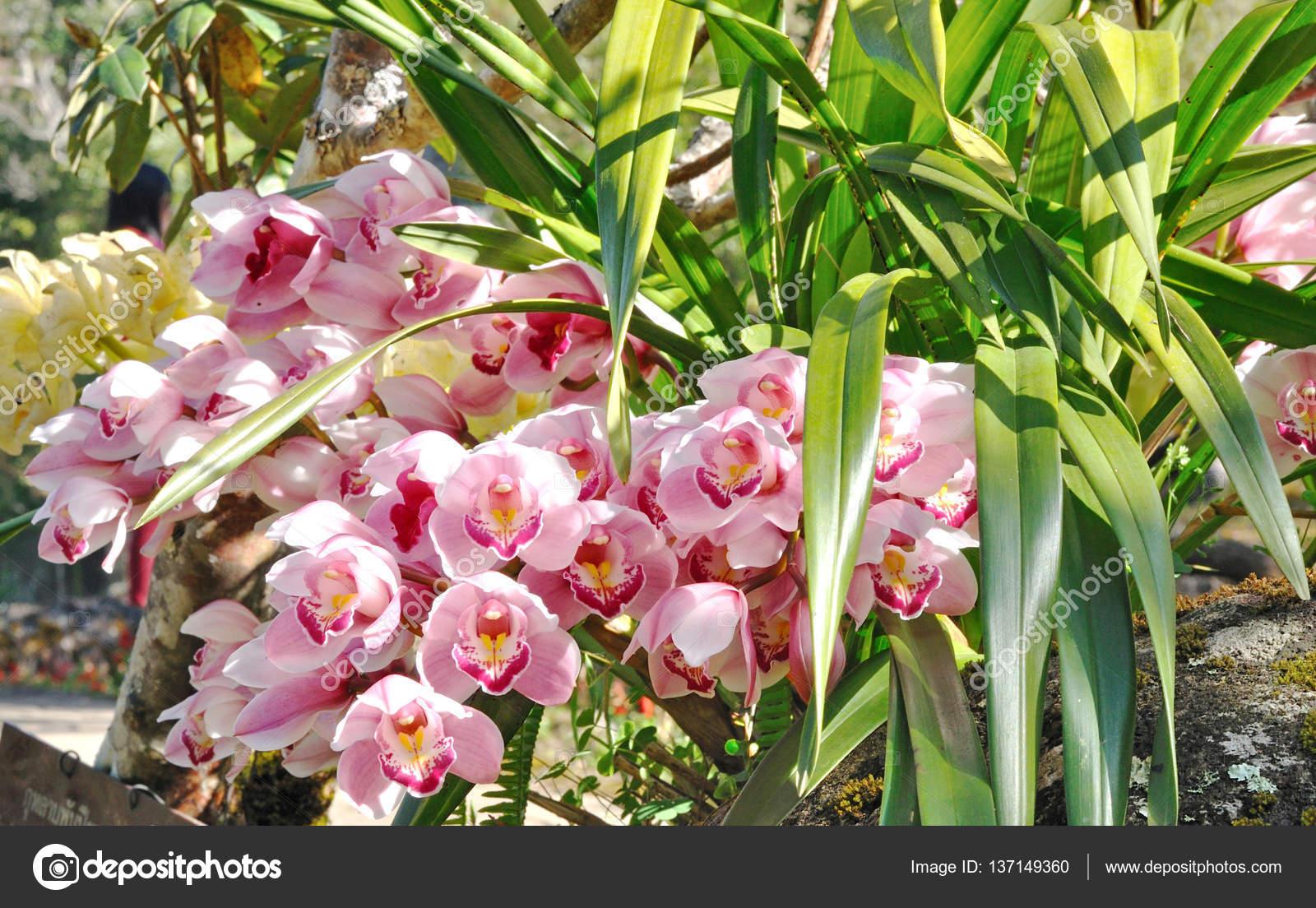 Orchidea Cymbidium Rosa Nel Giardino U2014 Foto Di Varandah