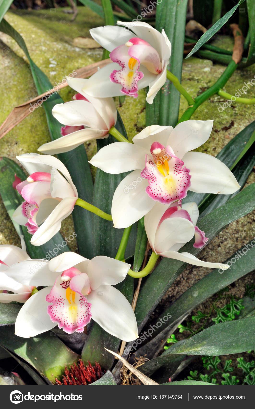 Orchidea Cymbidium Bianco In Giardino U2014 Foto Di Varandah