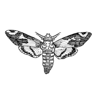 Death's head hawk moth sketch