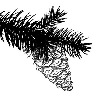 Sketch hand drawing pine cone