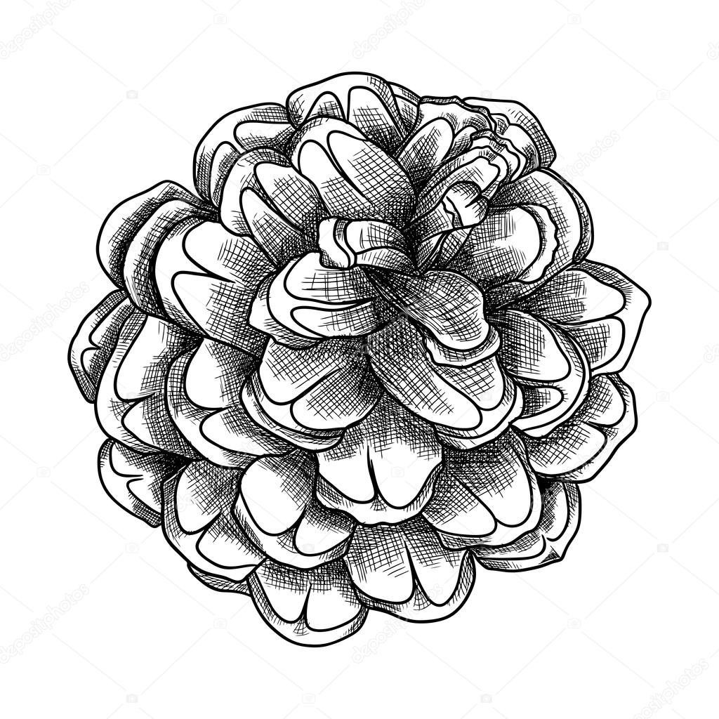 Stock Illustration Hand Drawn Pine Cone Sketch