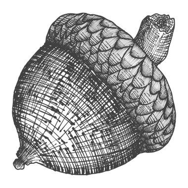 Acorn hand drawn sketch