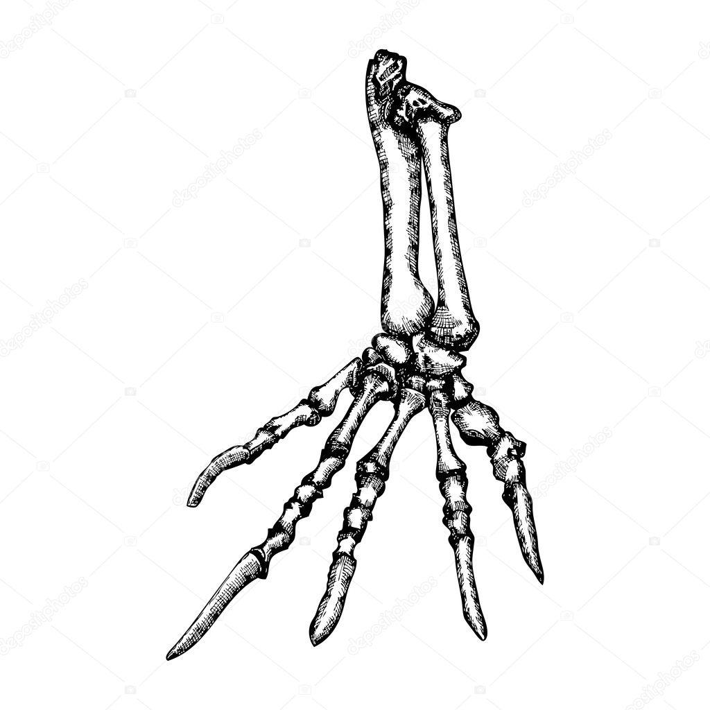 Lizard Bones Of The Hand Sketch Stock Vector Goldenshrimp 127579564