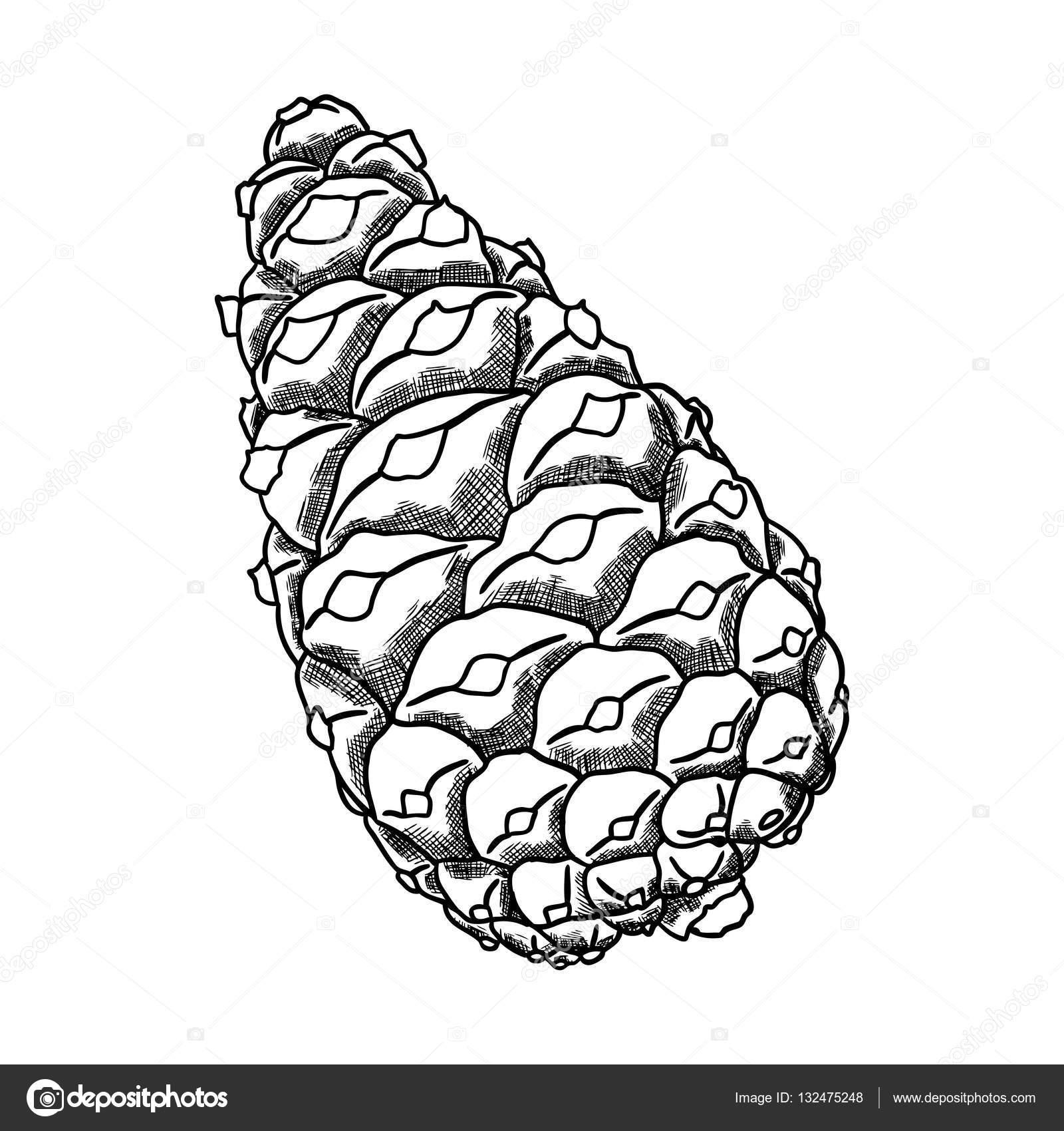 Imágenes Pino Para Dibujar Cono De Pino Dibujo Mano Foto De