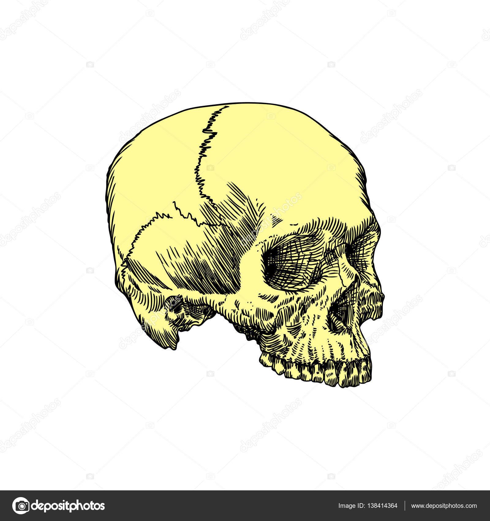 Boceto dibujado de mano anatómica del cráneo — Vector de stock ...