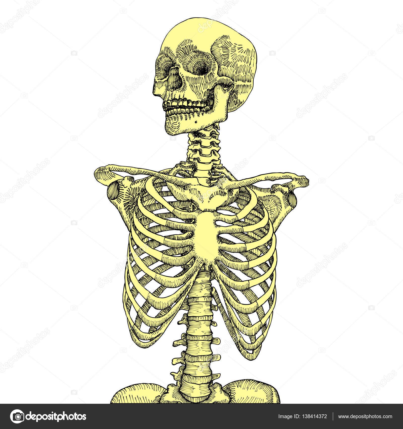Caja torácica anatómico dibujado con el cráneo de la mano — Vector ...