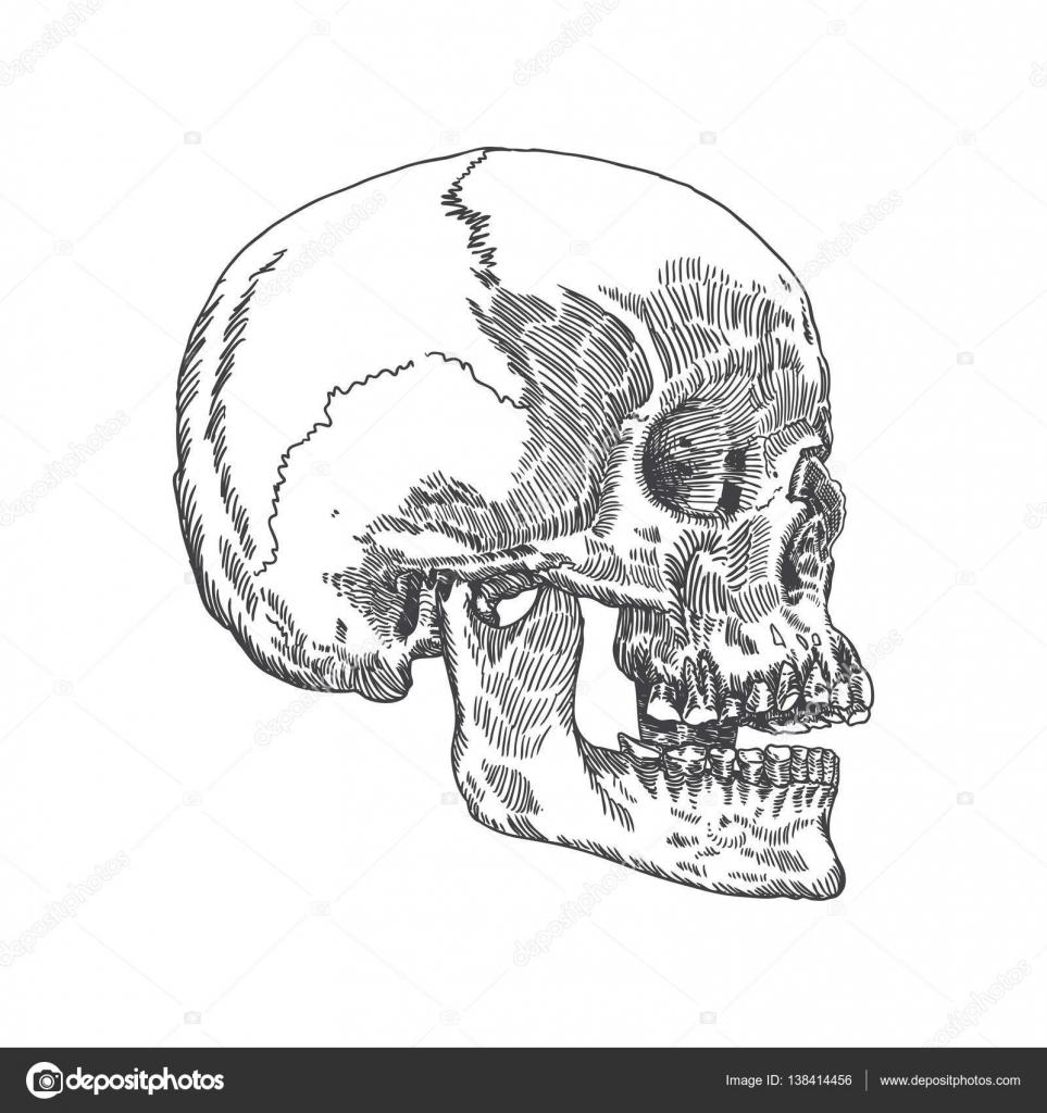 Anatomische Schädel Hand gezeichnete Skizze — Stockvektor ...