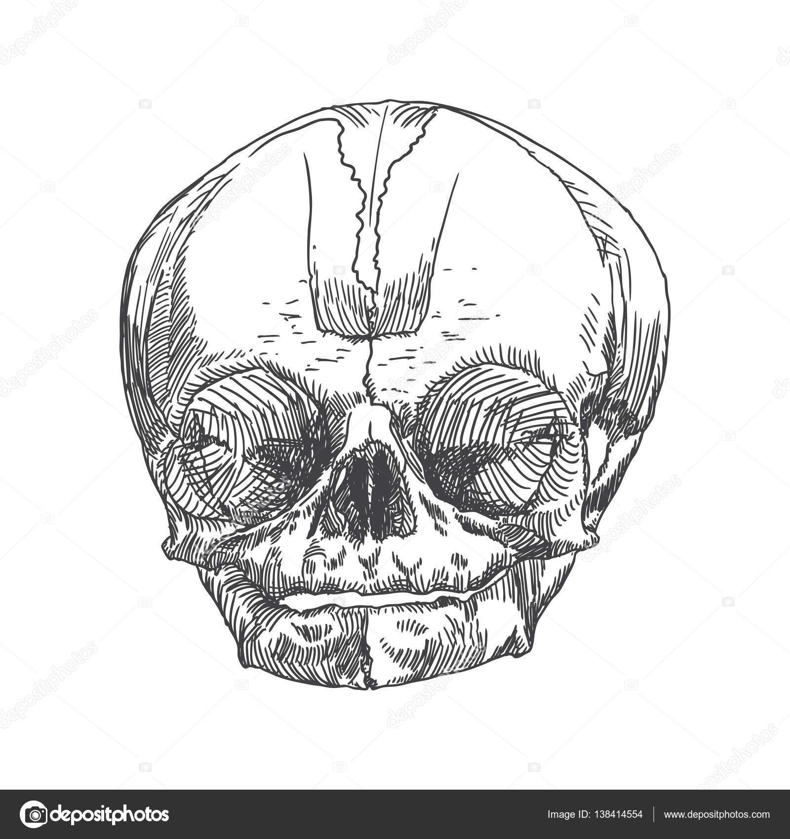 Anatomische Schädel Skizze von Jugendlichen oder Kind — Stockvektor ...