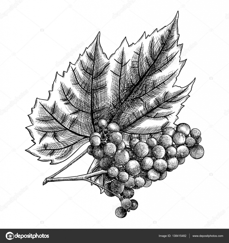 Ink Drawing Of Grapes And Leaf
