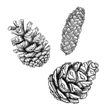 Set of pine cones sketches