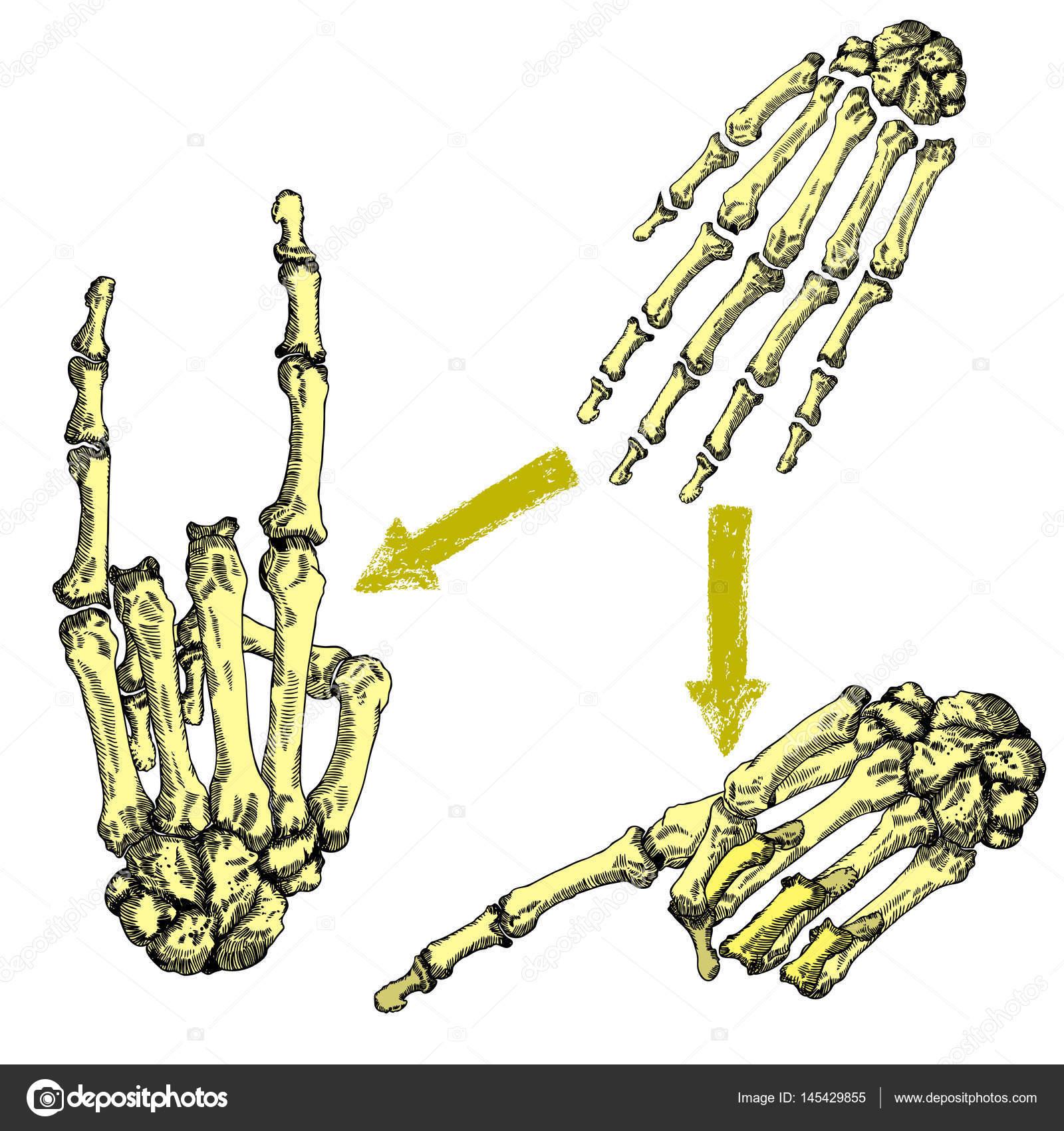 Sistema de dibujo de las muñecas de la mano de huesos humanos ...