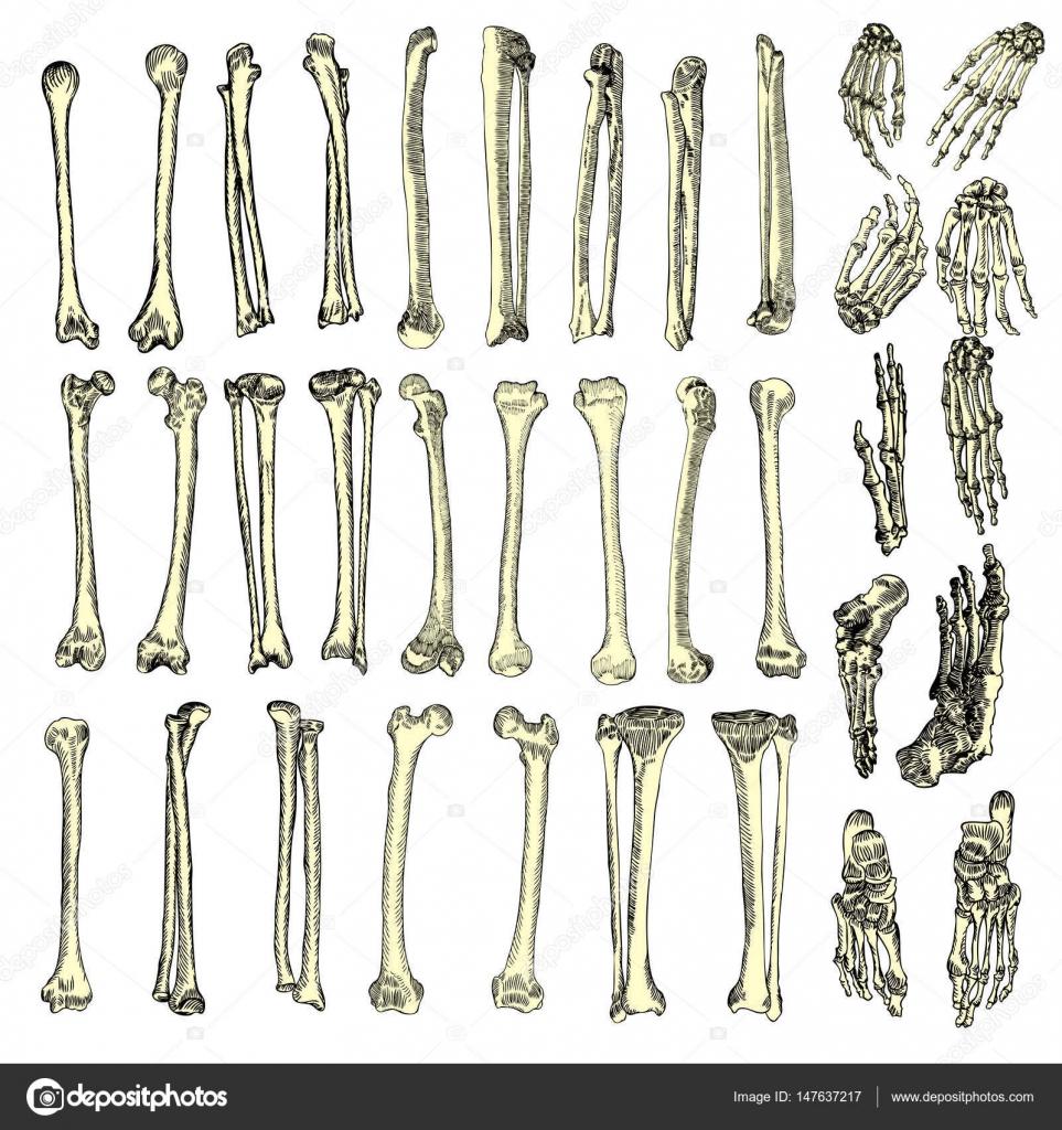 Esqueleto de huesos humanos, sistema de dibujo — Vector de stock ...