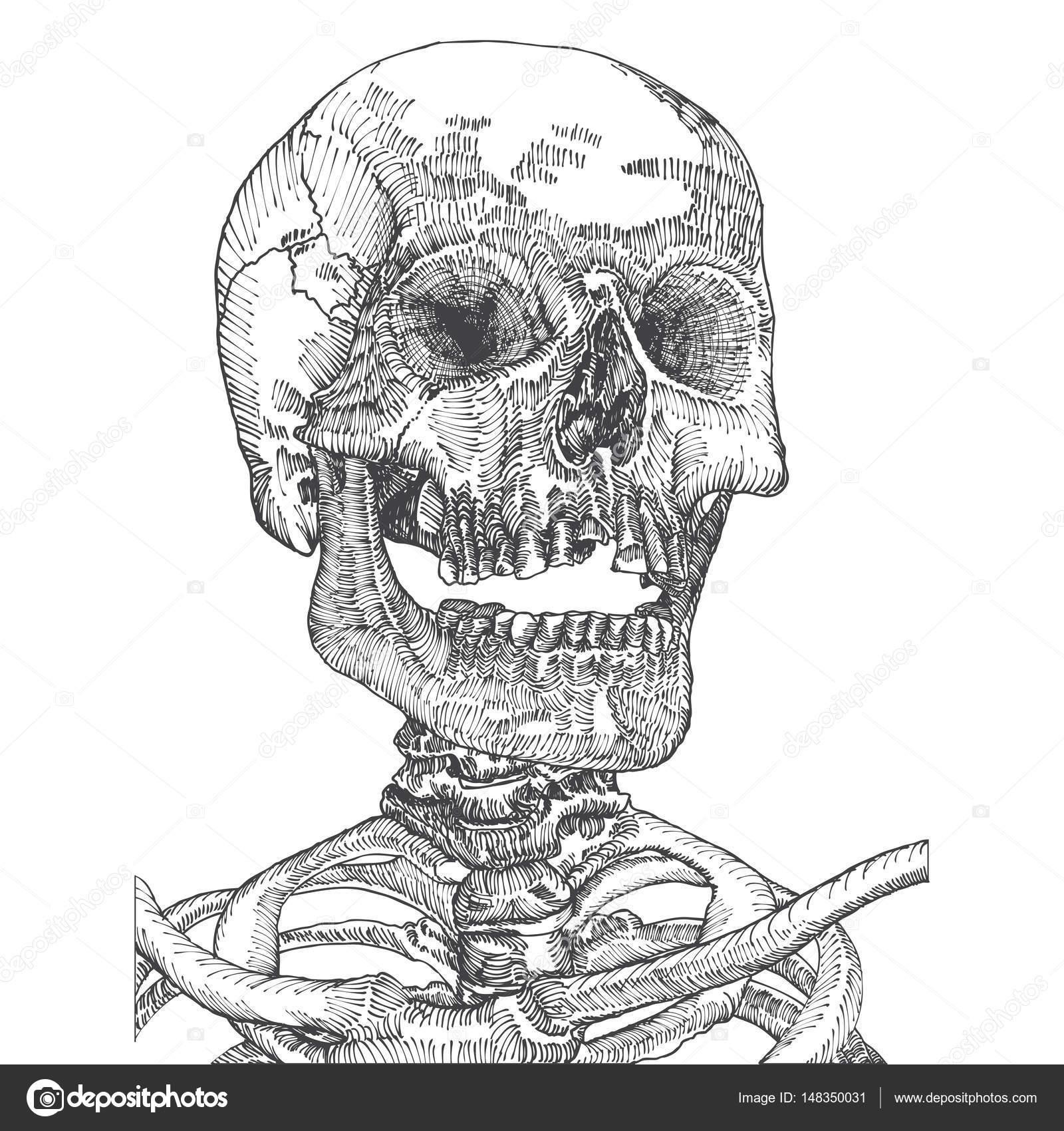 Ilustración anatómica del cráneo — Archivo Imágenes Vectoriales ...