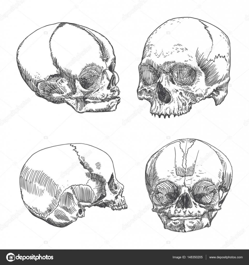 Anatomische Schädel Illustrationen — Stockvektor © goldenshrimp ...