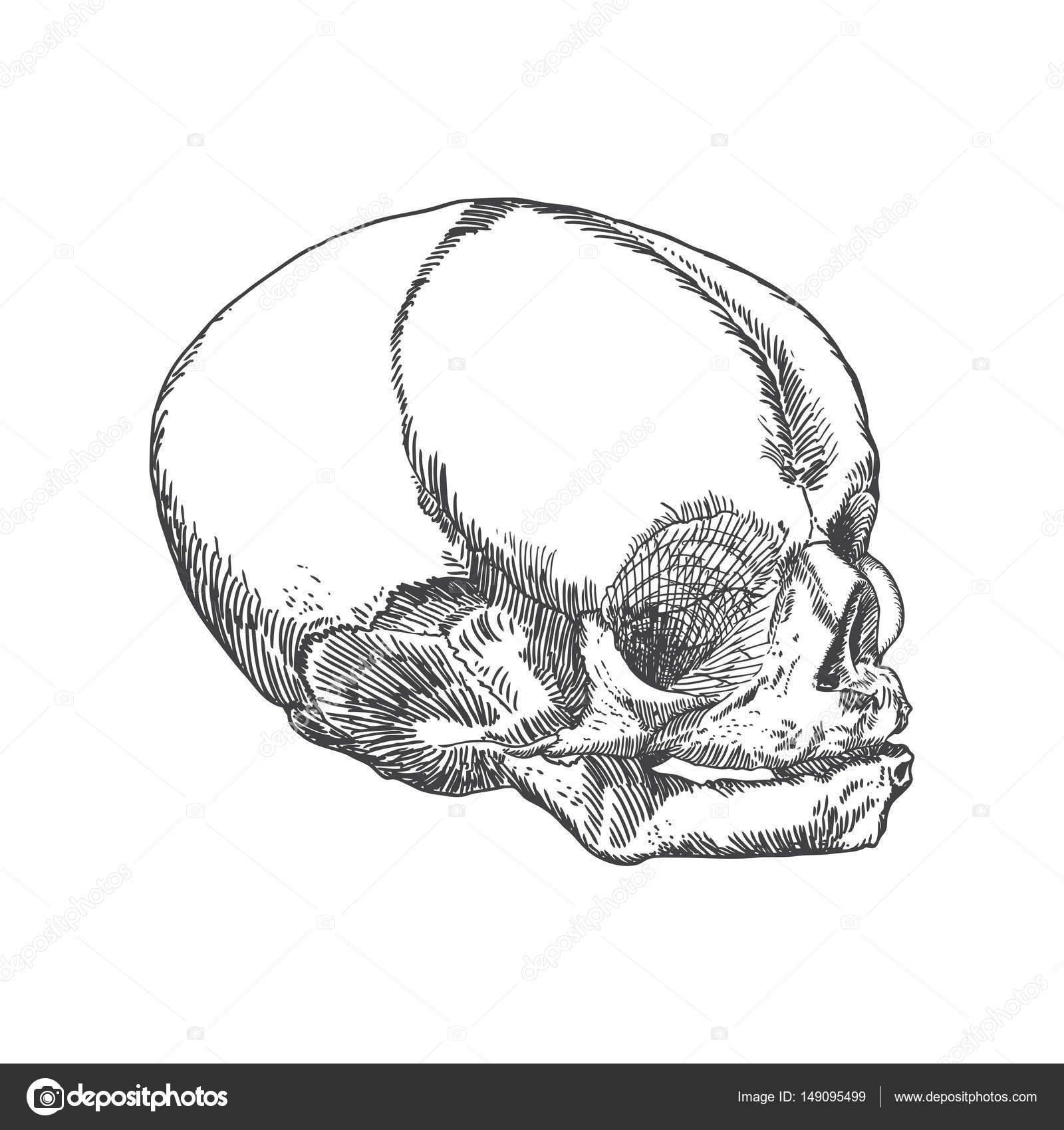 Anatomische Schädel von Jugendlichen oder Kind — Stockvektor ...